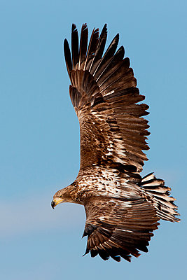 Common buzzard in flight - p1100m887860f by Art Wolfe