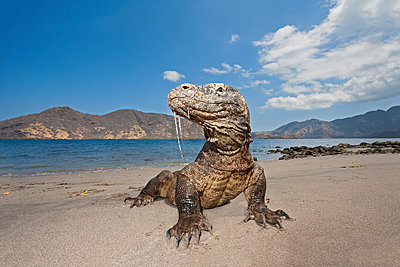 Komodo dragon (Varanus komodoensis), the world's largest lizard, with saliva dripping from it's mouth, containing an extremely damaging and virulent bacteria that will kill any animal that is bitten, Komodo National Park; Rinca Island, Indonesia - p442m1180910 by Design Pics