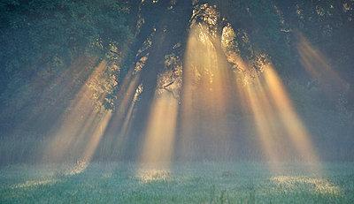 Sunbeams through branches - p575m696081 by Stefan Ortenblad