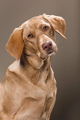 Weimaraner dog - p1076m859350 by TOBSN