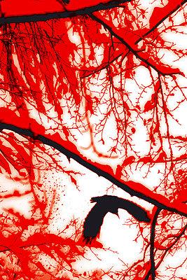 Blutkrähe - p4500037 von Hanka Steidle