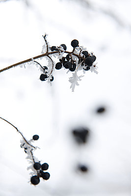 Twigs with hoarfrost - p533m2100151 by Böhm Monika