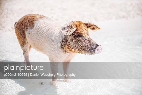 Pig swimming in sea on Pig Beach, Exuma, Bahamas, Caribbean - p300m2180558 by Daniel Waschnig Photography