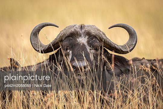 Close-up of African buffalo (Syncerus caffer)head through grass, Maasai Mara National Reserve; Kenya - p442m2058059 by Nick Dale