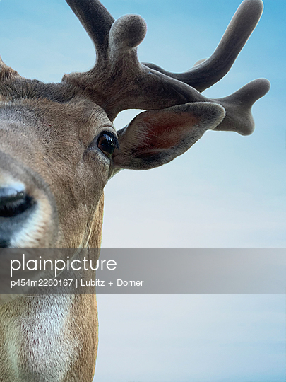Fallow deer  - p454m2280167 by Lubitz + Dorner