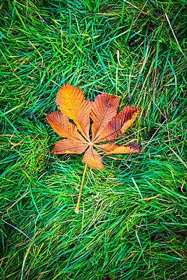 Autumn leaf on grass - p1302m2273405 by Richard Nixon