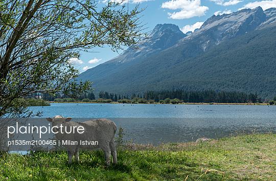 Schaf in Glenorchy - p1535m2100465 von Milan Istvan