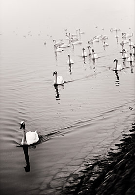 Group mute swans - p1695m2290921 by Dusica Paripovic