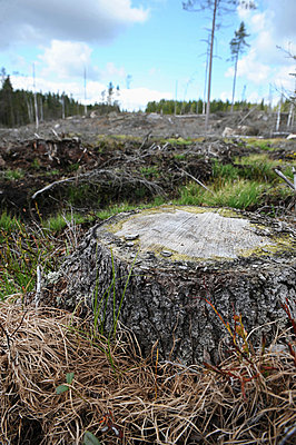 Treestump in a clear-felled area - p4265173f by Mats Andersson