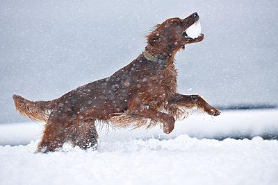 Irish Setter has fun in the snow - p533m2065585 by Böhm Monika