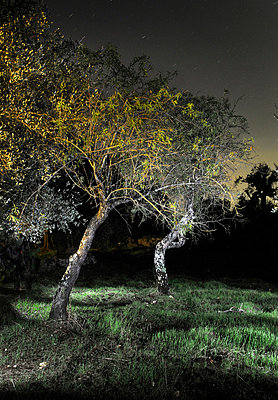 Two Olive trees illuminated at night - p1072m829450 by Neville Mountford-Hoare