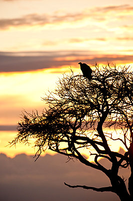 Vulture on a tree - p533m1120345 by Böhm Monika