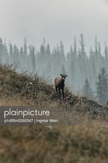 The wild goats of Jasper National Park in Canada - p1455m2092347 by Ingmar Wein