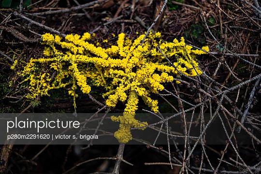 Yellow Lichen - p280m2291620 by victor s. brigola