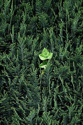 Hecke und einzelne Kletterpflanze - p1164m2111300 von Uwe Schinkel