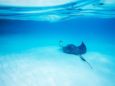 Stingray fish on ocean floor - p1166m1038443f by Cavan Images