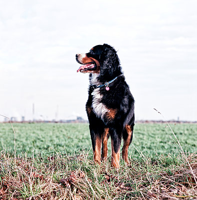 Bernese mountain dog - p545m1071865 by Ulf Philipowski