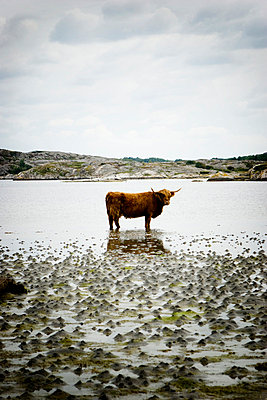 Highland cattle by the sea - p31223474f by Ellinor Hall