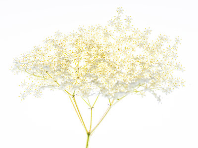 Elderflower - p401m2184903 by Frank Baquet