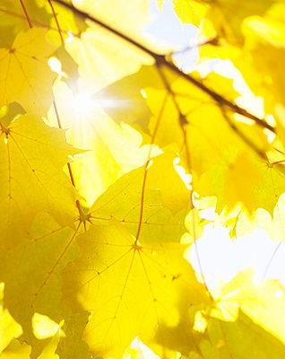 Sun shining through autumn leaves, close-up - p528m718637f by Elliot Elliot