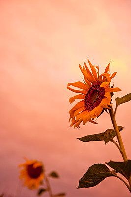 Sonnenblumen vor Abendrot - p533m1525232 von Böhm Monika
