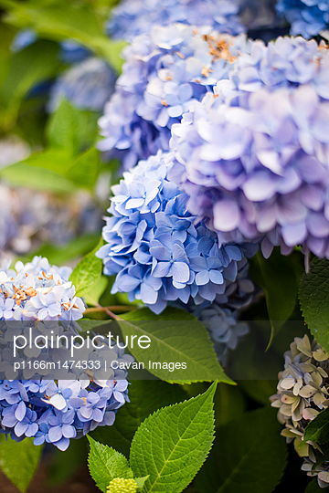 Close-up of hydrangeas blooming in garden