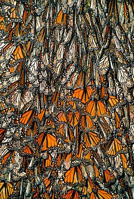 Monarch butterflies, Danaus plexippus, Monterey Bay, California - p1100m875179 by Frans Lanting