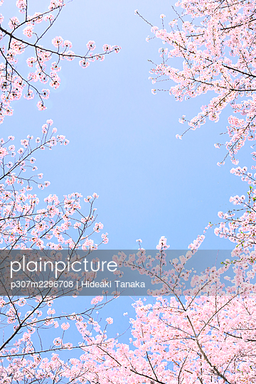 Blooming cherry blossoms - p307m2296708 by Hideaki Tanaka