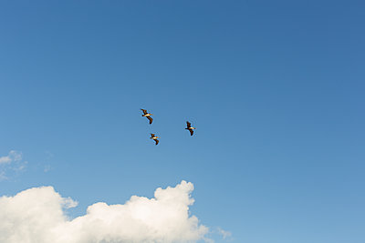 Three pelicans against blue sky - p1291m2245121 by Marcus Bastel
