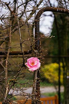 Einzelne Rosenblüte - p586m1109865 von Kniel Synnatzschke
