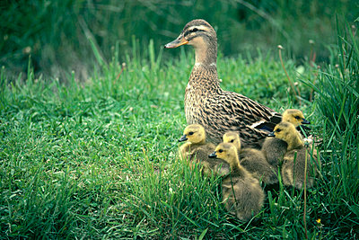 Mallard female with adopted Canada Goslings in the spring - p884m862480 by Michael Quinton