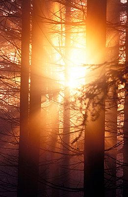 Sonne bricht durch den Fichtenwald - p2350492 von KuS