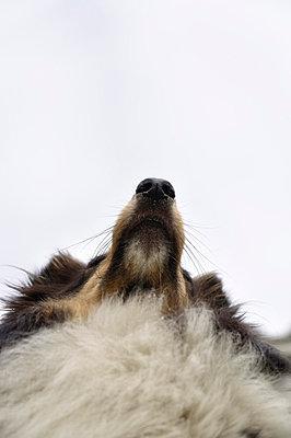 Shetland sheepdog - p322m697222 by Karoliina Norontaus
