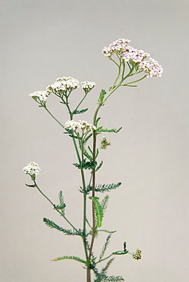 Yarrow - p954m658085 by Heidi Mayer