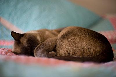 Banjo a burmese cat asleep - p1072m905486 by Mia Mala McDonald