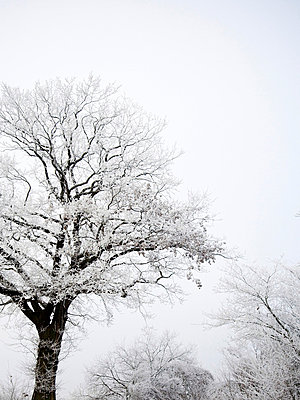 Verschneite Baeume im Nebel - p627m672273 by Kirsten Nijhof
