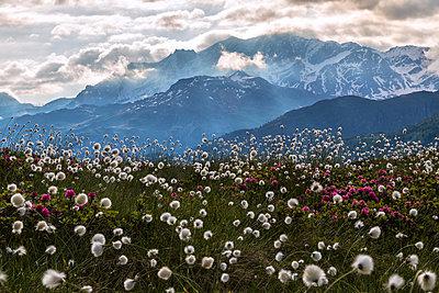 Rhododendrons and cotton grass, Maloja, Bregaglia Valley, Engadine, Canton of Graubunden , Switzerland, Europe - p871m1554869 by Roberto Moiola