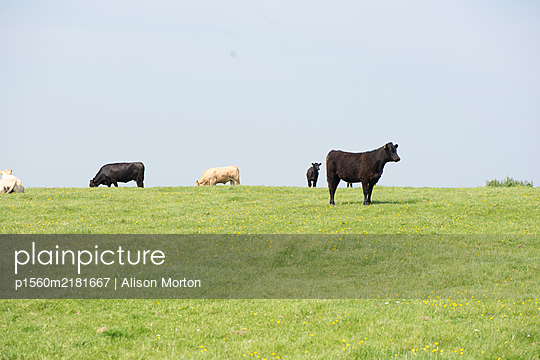 Different-coloured cows out to grass - p1560m2181667 by Alison Morton