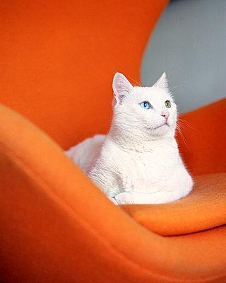 Weiße Katze - p781m776753 von Angela Franke