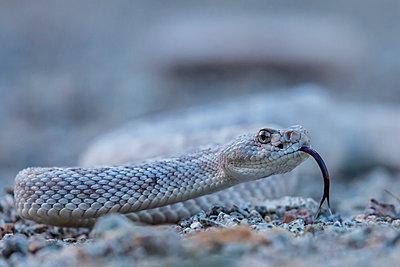 Ash colored morph of the endemic rattleless rattlesnake , Isla Santa Catalina, Baja California Sur, Mexico, North America - p871m1180864 by Michael Nolan