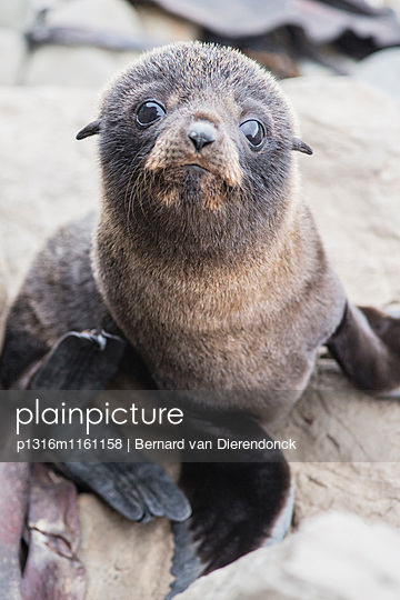 Baby Seebär, Half Moon Bay, Kaikoura, Südinsel, Neuseeland - p1316m1161158 von Bernard van Dierendonck