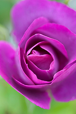 Bright Purple Rose - p669m713984 by David Harrigan