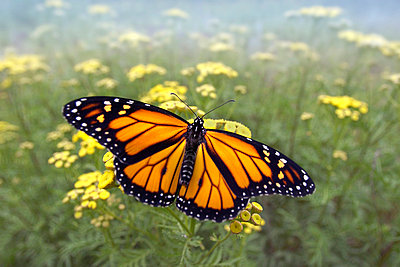 Monarch butterfly - p8840802 by Jim Brandenburg