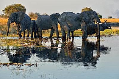 Africa, Namibia, Bwabwata National Park, Kwando river, herd of elephants, Loxodonta africana - p300m1587872 von Egmont Strigl