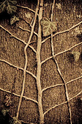 Ivy leaves on tree trunk, close-up - p300m980149 by Daniel Weisser