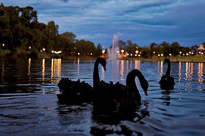 Black swans on lake - p1125m1042677 by jonlove