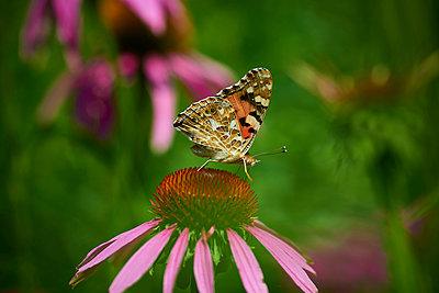 Echinacea - p587m1055250 by Spitta + Hellwig