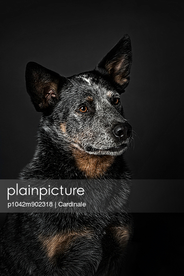 Australian Cattle Dog - p1042m902318 by Cardinale