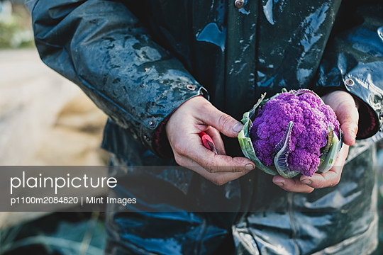 High angle close up of person holding freshly harvested purple cauliflower. - p1100m2084820 by Mint Images