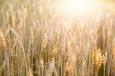 Wheat field - p312m2092031 by Anna Kern